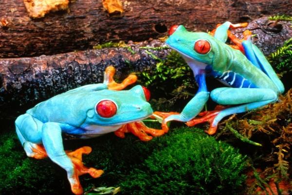 Dos ranas de patas naranjas sobre el musgo