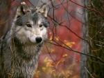 Un bello lobo gris