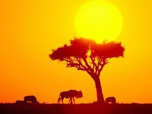 Postal: Ñús bajo el sol africano