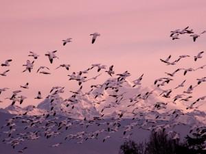Gansos volando junto a las montañas nevadas