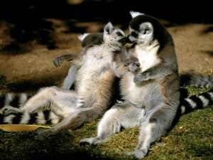 Postal: Pareja de lémures