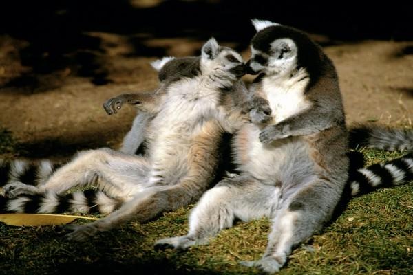 Pareja de lémures
