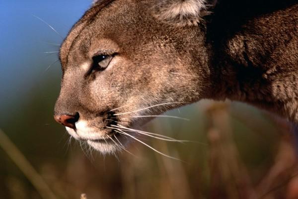 El perfil de un puma