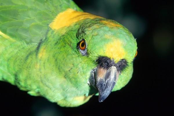 Un loro verde y amarillo del Amazonas