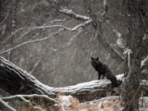 Zorro negro bajo la nieve