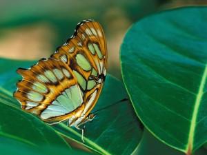 Postal: Una bella mariposa sobre una gran hoja verde