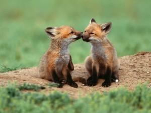 Postal: Pequeños zorros amorosos