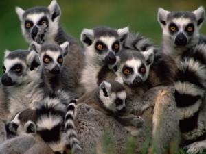 Un grupo de lémures