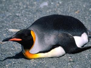 Un pingüino rey tumbado sobre las piedras
