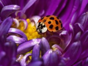 Postal: Mariquita en una flor morada