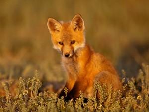 Postal: Un joven zorro solitario