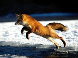 Postal: El salto del zorro