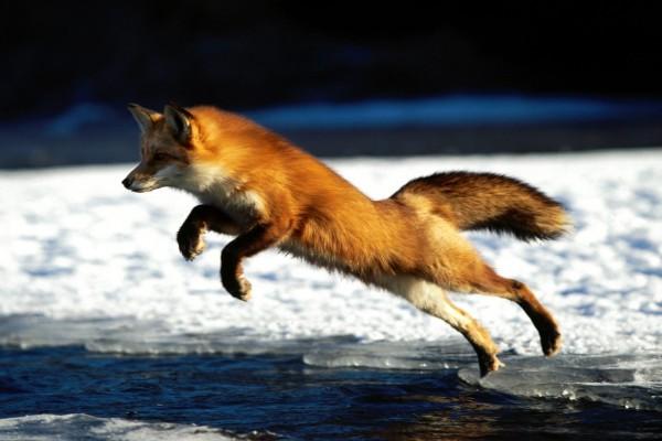 El salto del zorro