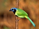 Un bonito pájaro verde con cabeza azul
