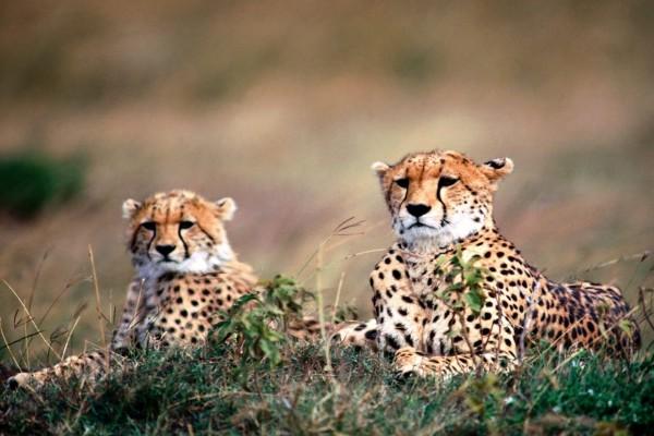 Dos observadores guepardos