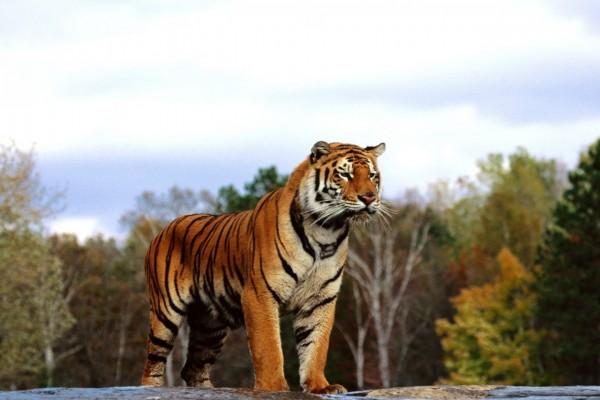 Un gran tigre de Bengala
