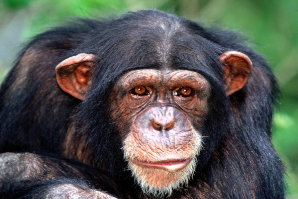 La mirada de un chimpancé