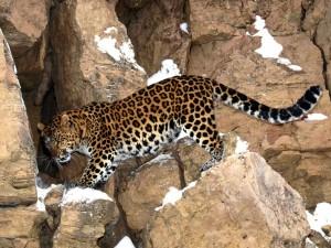 Leopardo caminando sobre rocas con restos de nieve