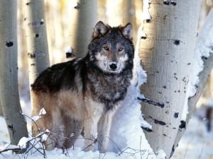 Postal: Lobo con nieve en el hocico