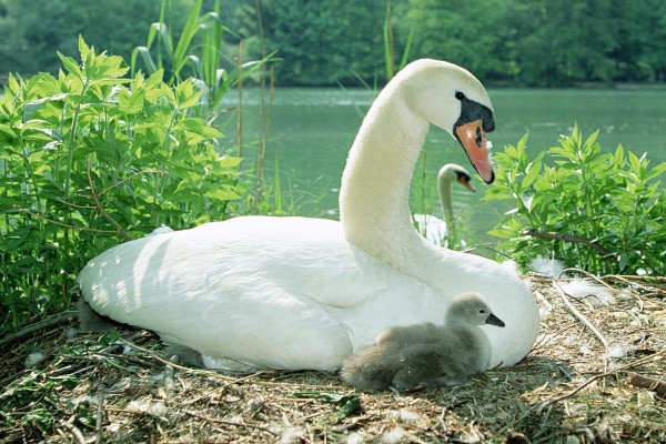 Cisne junto a sus polluelos