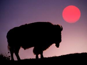 Un bisonte visto al amanecer