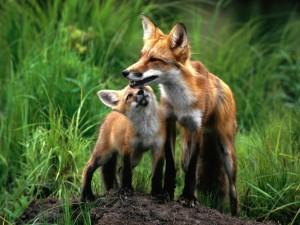 Un joven zorro mirando a su madre