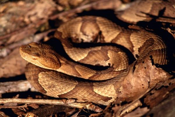 Serpiente sobre hojas secas