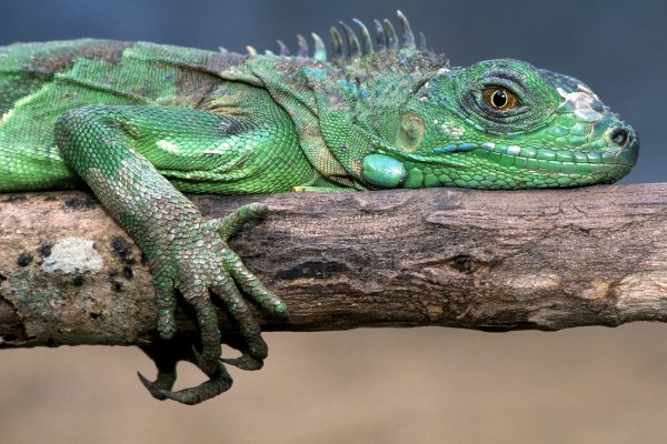 Una iguana verde agarrada a un tronco