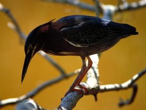 Postal: Pequeña garza sobre una rama