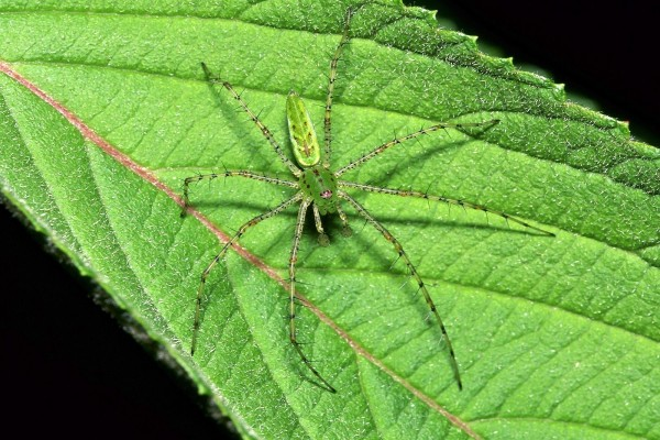 Araña lince verde (Oxyopidae)