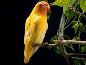Postal: Periquito amarillo y naranja