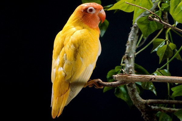 Periquito amarillo y naranja
