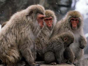 Monos bajo la nieve