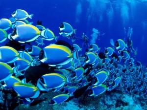 Buzos junto a un banco de peces tropicales