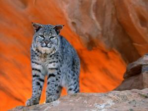 Postal: Un gato montés en las rocas