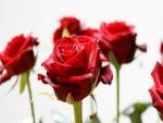 Rosas rojas con su tallo