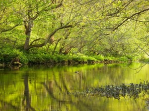 Postal: Un pato nadando en las aguas del río