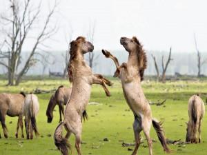 Postal: Caballos enfrentados