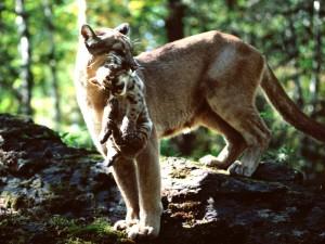 Puma con un cachorro en la boca