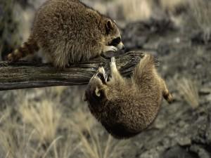 Dos mapaches jugando sobre un tronco