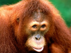 Postal: Orangután de Sumatra (Pongo abelii)