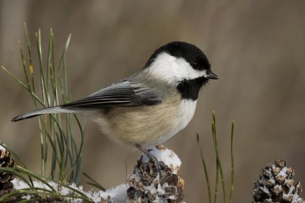 Un bonito pájaro posado en una piña con nieve