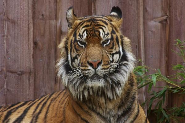 La gran cara de un tigre