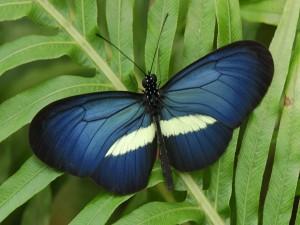Mariposa con alas de color azul oscuro