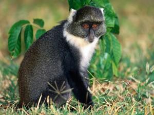 Postal: Un mono azul (Cercopithecus mitis)