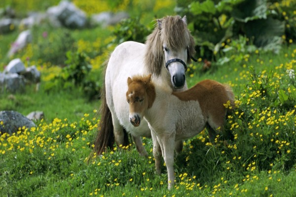Un potrillo junto a su madre en un prado con flores amarillas