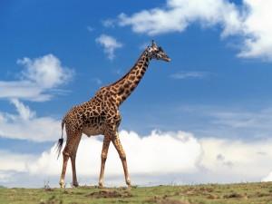 Una jirafa caminando en soledad