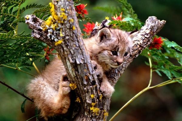 Pequeño lince subido a un árbol