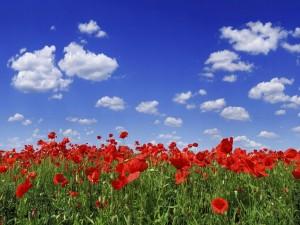 Postal: Campo de amapolas rojas bajo un cielo azul
