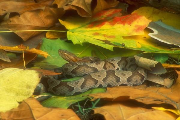 Serpiente entre las hojas caídas de un árbol